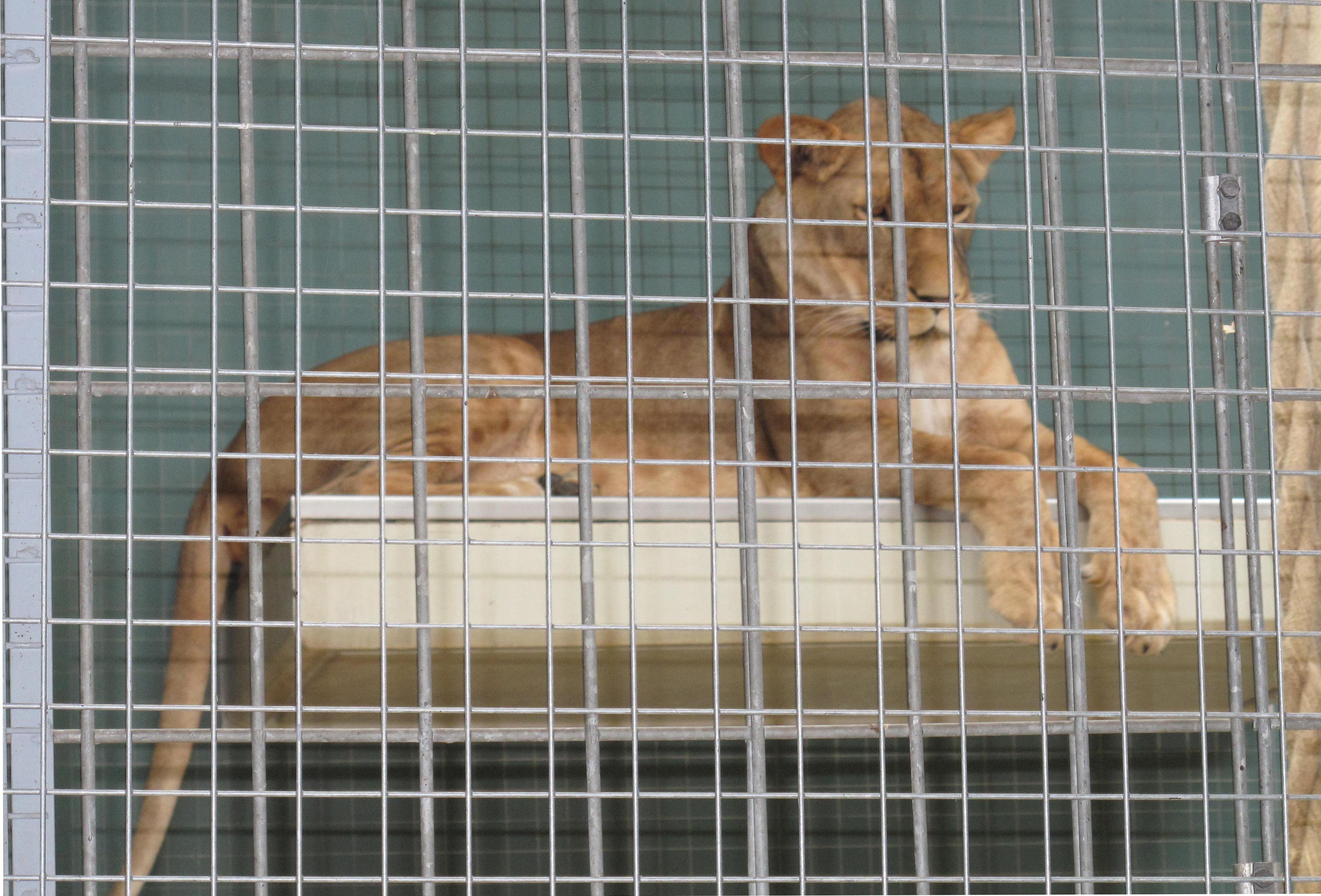 Lejon i bur